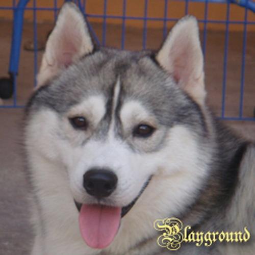 ข่าวดีและข่าวร้ายสำหรับเพื่อน ๆ ที่เลี้ยง น้องหมาไซบีเรียน ฮัสกี้